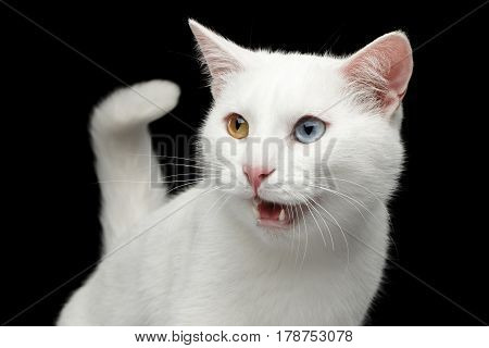 Portrait of Pure White Cat with odd eyes and tail, meowing on Isolated Black Background, front view