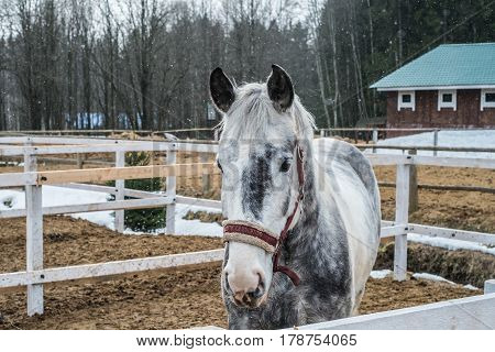 White pale horse in stable in winter