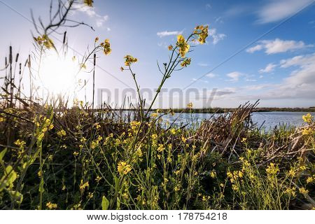 Mustard Flowers at the Marsh, Color Image, Day