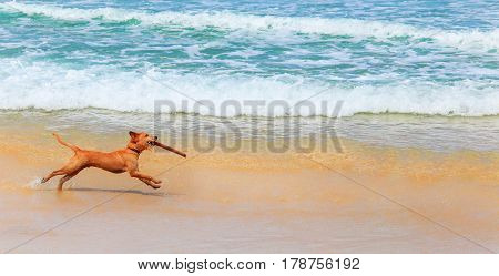 Exercises with the stick. Cheerful brown dog running with a stick in his teeth by the ocean. The dog does the command Aport on the beach.