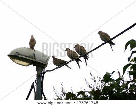Photo of a group of Eurasian collared doves resting on a wire
