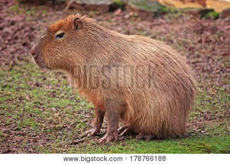 Capybara rodent sitting in a muddy field