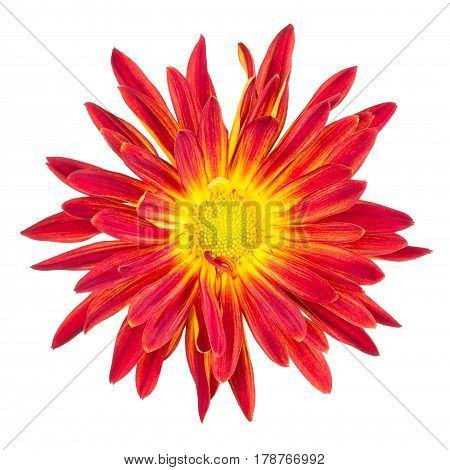 Rusty red and yelllow rover chrysanthemum bloom isolated on white.