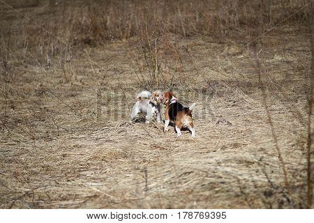 dog beagle play in the meadow forest field