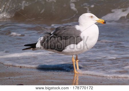 A Yellow-footed Gull, Larus livens on a beach on the Sea Of Cortez in Mexico