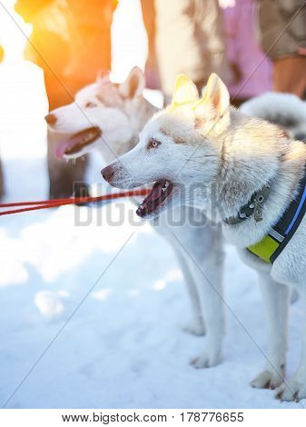 Sledding with husky dogs in Lapland Finland. Husky dog sledge