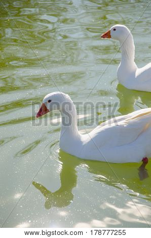 Two Geese Swimming In The Water