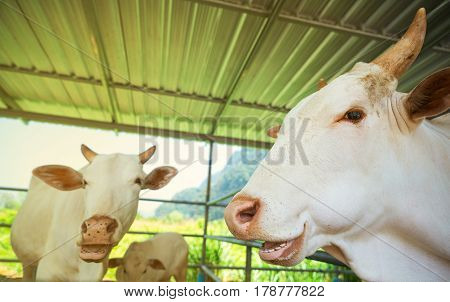 Three white cows in a pen under a roof. Mama is a cow calf and bull.