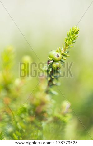 Detail of crowberry with green berries