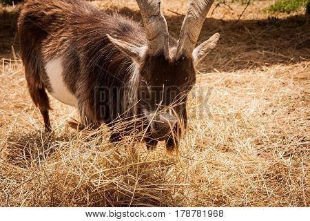 Brown ram munching hay or straw in a barnyard
