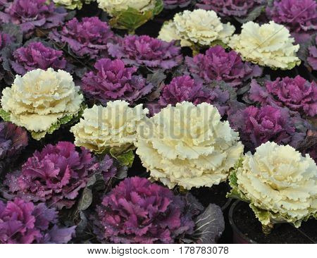 Ornamental Cabbage Flower