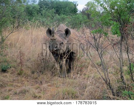 Close Up of an Endangered Black Rhino on African Safari