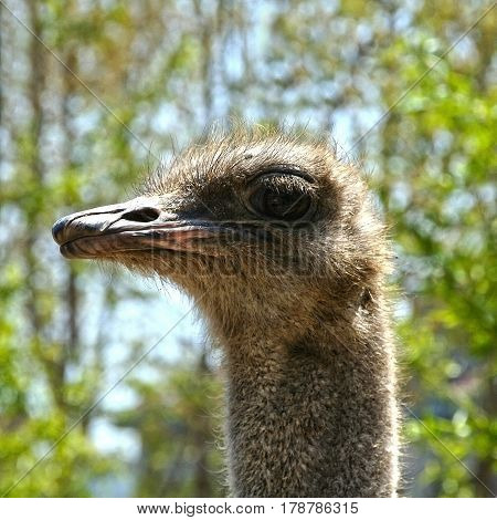 Head of the African ostrich close. Exotic birds - the largest in the world. Flightless bird without wings