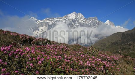 Meadow full with pink wildflowers. Snow capped mountain. Scene in Namche Bazar Everest National Park Nepal.