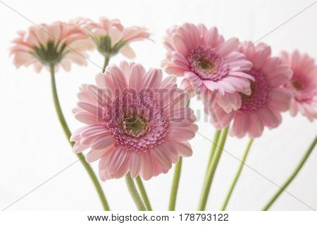 Bunch of pink gerberas isolated on white