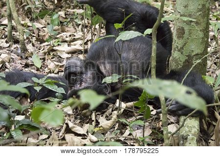 Chimpanzee lounging on ground in Kibale National Park Uganda.