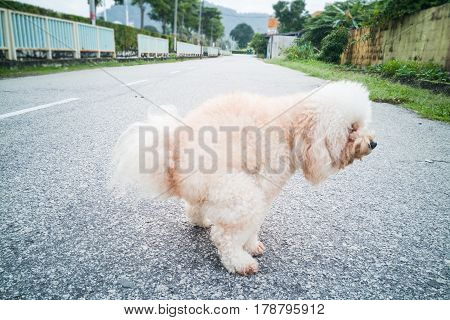 Pet Poodle Dog Pooping On Street