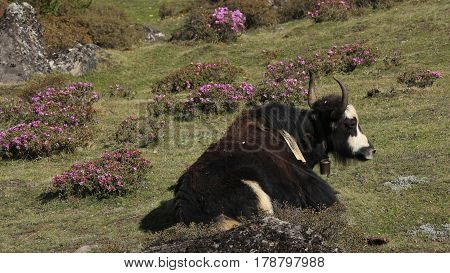 Yak resting on a meadow with pink wildflowers. Spring scene in Khumjung Everest National Park.