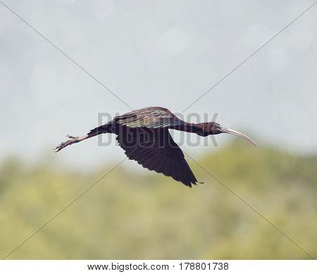 Glossy Ibis in flight over Florida wetlands