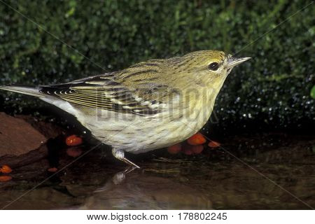 A Blackpoll Warbler, Setophaga striata In fall plumage at a shallow pond in the forest