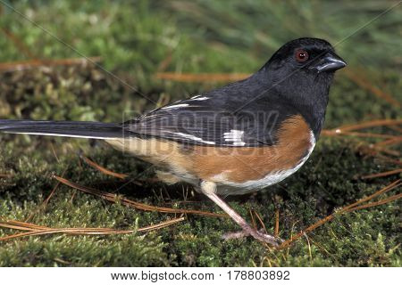 A male Eastern Towhee, Pipilo erythrophthalmus on the woodland floor