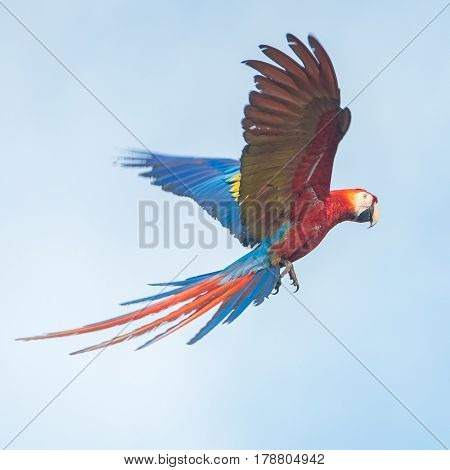 Parrot in the sky. The scarlet macaw (Ara macao) flying with a blue clear sky on the background