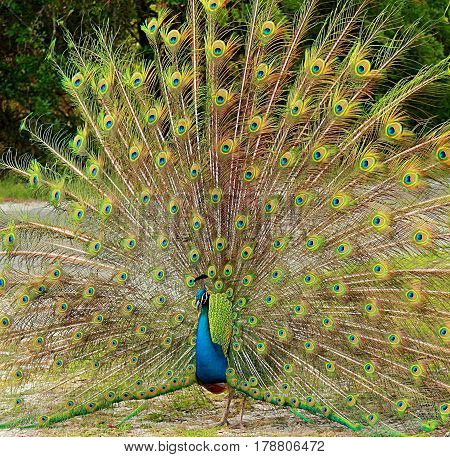 Peacock. The image was taken in Florida National Park