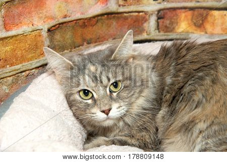 Petrified gray tabby domestic short hair crouched in kitty bed looking up at viewer fearfully. Distressed brick wall background. Homeless and injured fearful of humans.