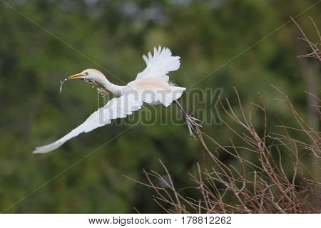 Cattle Egret (Bubulcus ibis) in flying the Florida Everglades