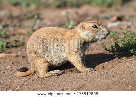 Black-tailed Prairie Dog (Cynomys ludovicianus) in Oklahoma