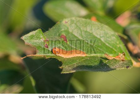 Macro of a sawfly larva on a partially eaten leaf with shed skin behind