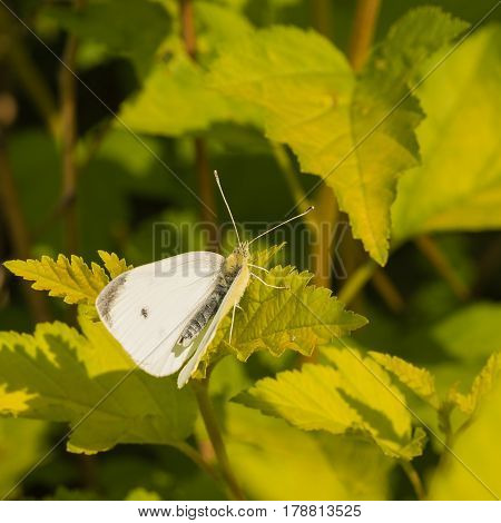 Macro of white cabbage butterfly resting on a leaf