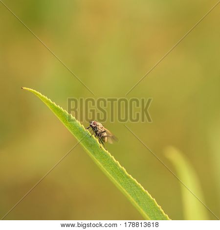 Macro of a housefly resting on a leaf.