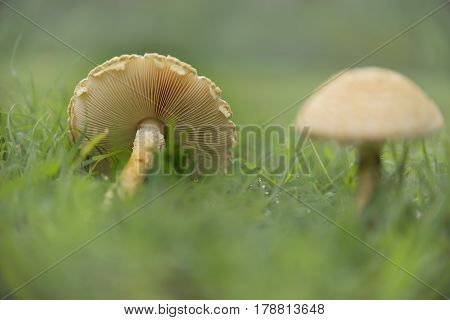 Mushrooms in wet green grass landscape after rain weather showing gills and stem