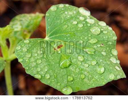 Close up on melon leaf with water drop after plantation