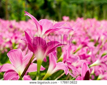 close up group of pink lilly flower