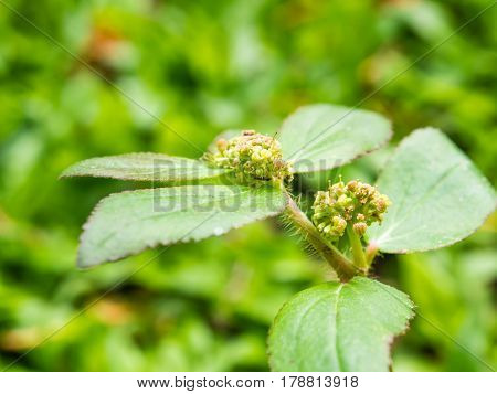 Close up green flower and bud on blur background