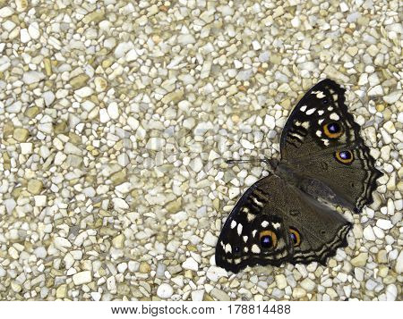 Lemon pansy butterfly on exposes aggregate finish floor