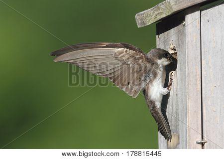 Female Tree Swallow (tachycineta bicolor) bringing food to the nest