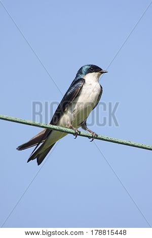 Tree Swallow (tachycineta bicolor) on a wire with a blue sky background