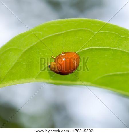 Close up orange ladybug hanging on green leaf