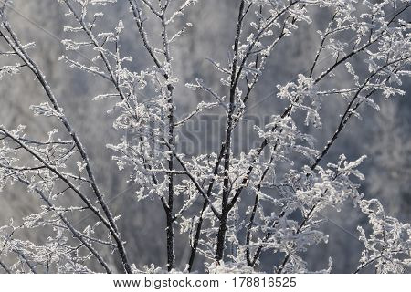 Branches of a tree covered with frost on a frosty day