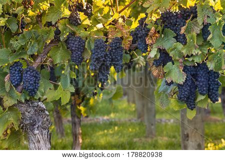 ripe Pinot Noir grapes in vineyard at sunset