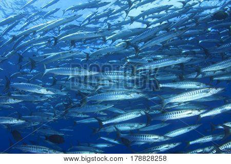 Chevron Barracuda fish school