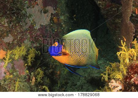Yellowmasked Angelfish. Fish on coral reef