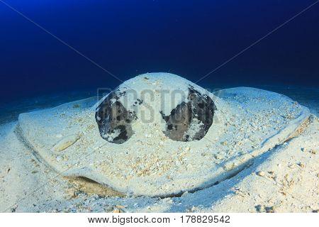 Marbled Ray Stingray