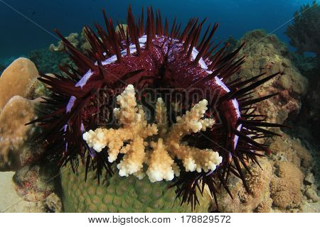 Crown-of-thorns Starfish eats coral and destroys reef