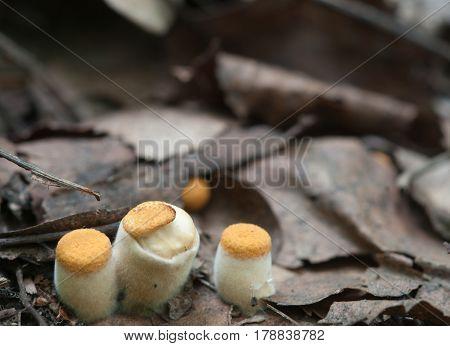 Crucibulum laeve mushrooms on the autumn leaves