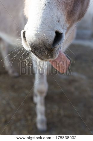 Nose with the ass's tongue on the farm