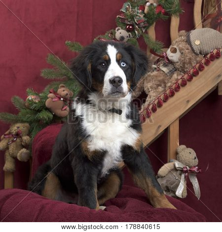 Bernese mountain dog in Christmas decoration